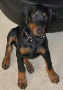 Baby Doberman Dog