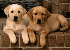 Labrador Siblings