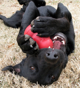 Positive puppy play with Kong